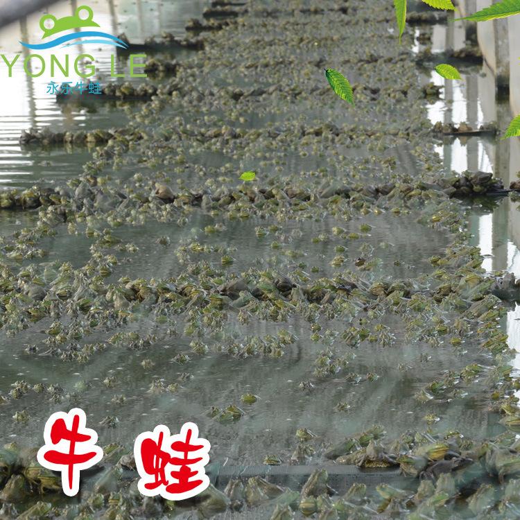 鲜活牛蛙对养殖环境的要求