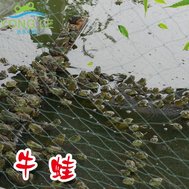 牛蛙的功效和作用