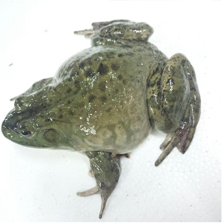 牛蛙的采收的标准